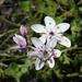 Wurmbea biglandulosa biglandulosa - Photo (c) Lise Kool, some rights reserved (CC BY-NC)