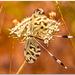 Nemoptera coa - Photo (c) nolly2, μερικά δικαιώματα διατηρούνται (CC BY-NC)