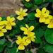 Viola sempervirens - Photo (c) Nick Turland, algunos derechos reservados (CC BY-NC-ND)