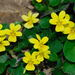 Viola sempervirens - Photo (c) Nick Turland,  זכויות יוצרים חלקיות (CC BY-NC-ND)