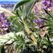 Summer Lupine - Photo (c) TJ Gehling, some rights reserved (CC BY-NC-ND)