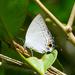 Tajuria cippus - Photo (c) flyingswallow123, algunos derechos reservados (CC BY-NC)