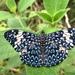 Mariposa Tronadora Roja - Photo (c) Diana Fuentes, algunos derechos reservados (CC BY-SA)