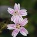 Claytonia sibirica - Photo (c) James Gaither, algunos derechos reservados (CC BY-NC-ND)
