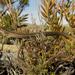 Chamaesaura anguina - Photo (c) Ryan van Huyssteen, algunos derechos reservados (CC BY-NC)
