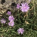 Lactuca tenerrima - Photo (c) pfaucher, some rights reserved (CC BY-NC)