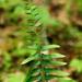 Polystichum acrostichoides - Photo (c) Tom Potterfield, algunos derechos reservados (CC BY-NC-SA)