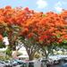 Flamboyant - Photo (c) nursebarbara, some rights reserved (CC BY-NC)