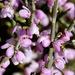 Muraltia spinosa - Photo (c) kateyhiggs, algunos derechos reservados (CC BY-NC)