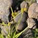Carex flava - Photo no hay derechos reservados