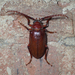 Tooth-necked Longhorn Beetle - Photo (c) John P. Friel Ph.D., some rights reserved (CC BY)