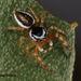 Pelegrina kastoni - Photo (c) jcowles, μερικά δικαιώματα διατηρούνται (CC BY)