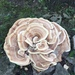 Berkeley's Polypore - Photo (c) zachamidon, some rights reserved (CC BY-NC)