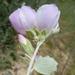 Malacothamnus jonesii - Photo (c) Keir Morse, algunos derechos reservados (CC BY-NC-ND)