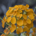 Western Wallflower - Photo (c) Todd Ramsden, some rights reserved (CC BY-NC)