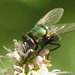 Neomyia - Photo (c) Simon Oliver, some rights reserved (CC BY-NC)