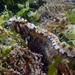 Anoplarchus purpurescens - Photo (c) Karolle Wall, algunos derechos reservados (CC BY-NC)