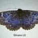 Syrnia hypnois - Photo (c) Silvano LG, osa oikeuksista pidätetään (CC BY-NC)