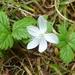 Rubus pedatus - Photo (c) Connor,  זכויות יוצרים חלקיות (CC BY-NC)