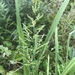 Coleataenia anceps - Photo (c) Alan Weakley, algunos derechos reservados (CC BY-NC)