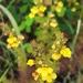 Pterygiella tenuisecta - Photo (c) 刘光裕 Liu Guangyu, algunos derechos reservados (CC BY-NC)