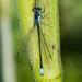Pacific Forktail - Photo (c) BJ Stacey, some rights reserved (CC BY-NC)