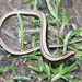 Slowworms - Photo (c) Alican Erdogan, some rights reserved (CC BY-NC-SA)