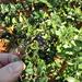 Lonicera ligustrina yunnanensis - Photo (c) portioid,  זכויות יוצרים חלקיות (CC BY-SA)