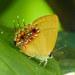 Semanga superba deliciosa - Photo (c) alanowyong, algunos derechos reservados (CC BY-NC)