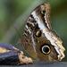 Caligo - Photo (c) Steven Easley,  זכויות יוצרים חלקיות (CC BY-NC)