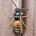 Red-banded Yellowjacket - Photo (c) Jyrki Sahinoja, some rights reserved (CC BY-NC)