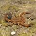 Tityus clathratus - Photo (c) Leonardo Sousa Carvalho, algunos derechos reservados (CC BY-NC)