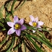 Romulea minutiflora - Photo (c) sybilmajo, μερικά δικαιώματα διατηρούνται (CC BY-NC)