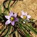 Romulea minutiflora - Photo (c) sybilmajo, algunos derechos reservados (CC BY-NC)