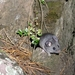 Ratón de Los Volcanes - Photo (c) rastaman13, algunos derechos reservados (CC BY-NC)