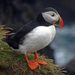 Atlantic Puffin - Photo (c) Steve Fernie, some rights reserved (CC BY-NC)