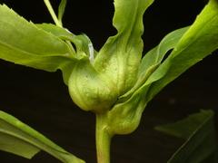 photo of Dasineura folliculi bud gall on Solidago gigantea shoot apex