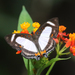 Mariposa Marinera - Photo (c) Steven Easley, algunos derechos reservados (CC BY-NC)
