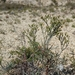 Eriogonum helichrysoides - Photo (c) jackerfield,  זכויות יוצרים חלקיות (CC BY-NC)