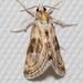 Frechinia laetalis - Photo (c) Lee Hoy, algunos derechos reservados (CC BY-NC-ND)