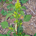 Amaranthus powellii - Photo (c) Phil Bendle, osa oikeuksista pidätetään (CC BY-NC)