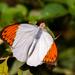 Hebomoia glaucippe - Photo (c) Anil Kumar Verma,  זכויות יוצרים חלקיות (CC BY-NC)