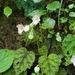 Begonia picta - Photo (c) karoconniff, algunos derechos reservados (CC BY-NC)