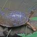 Tortuga Negra - Photo (c) Jerry Oldenettel, algunos derechos reservados (CC BY-NC-SA)