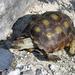 Tartaruga-de-Berlandier - Photo (c) Clinton & Charles Robertson, alguns direitos reservados (CC BY-SA)
