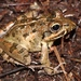 Gray's Stream Frog - Photo (c) Alex Rebelo, some rights reserved (CC BY-NC)