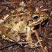Strongylopus grayii - Photo (c) Alex Rebelo, algunos derechos reservados (CC BY-NC)