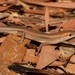 Brown Bicarinate Rainbow-Skink - Photo (c) dhfischer, some rights reserved (CC BY-NC)