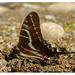 Mariposa Cometa Golondrina Negra - Photo (c) Ale Türkmen, algunos derechos reservados (CC BY-NC-SA)