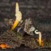 Ophiocordyceps variabilis - Photo (c) Danny Newman,  זכויות יוצרים חלקיות (CC BY-NC-SA)